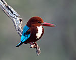 Kingfisher  in Bhopal national park