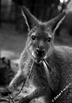 wallaby at a university of new south wales research station near Sydney, Australia